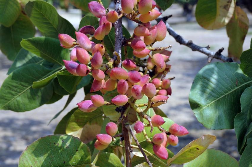 albero pistacchio